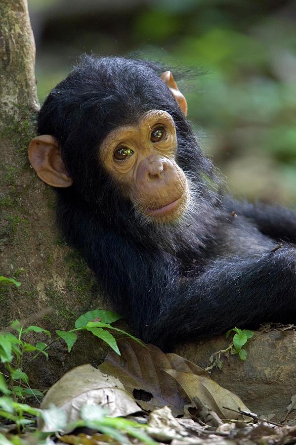 Ingo ARNDT bébé chimpanzé.jpg