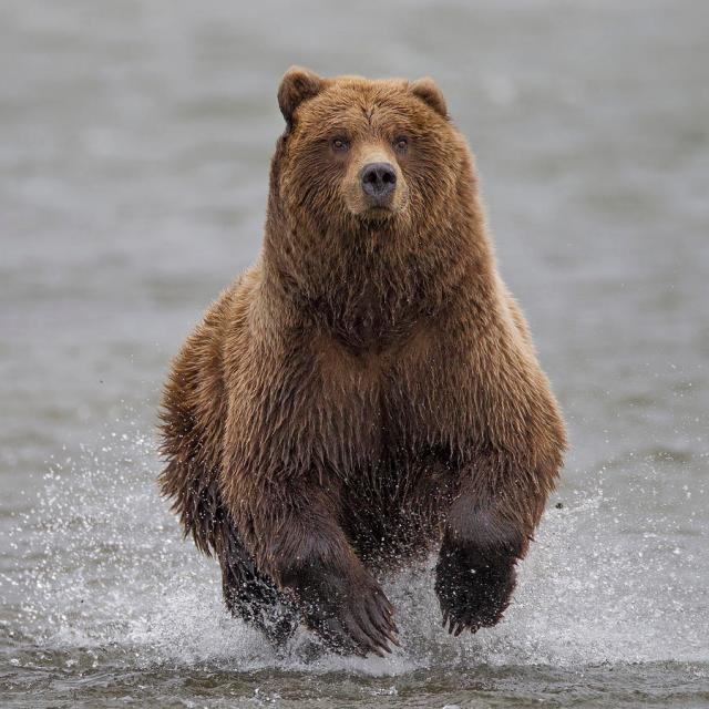 Ingo ARNDT Grizzly.jpg