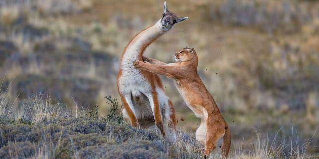 Ingo ARNDT un puma s'attaque à un guanaco