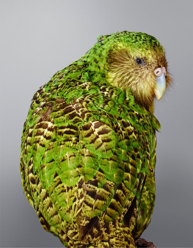JEFFREYS Kakapo