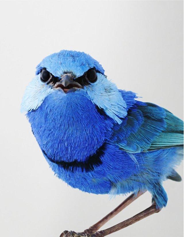 JEFFREYS Merle bleu azzuré.jpg
