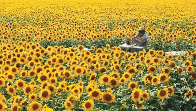 TOURNERET Eric ruche dans un champ de tournesols