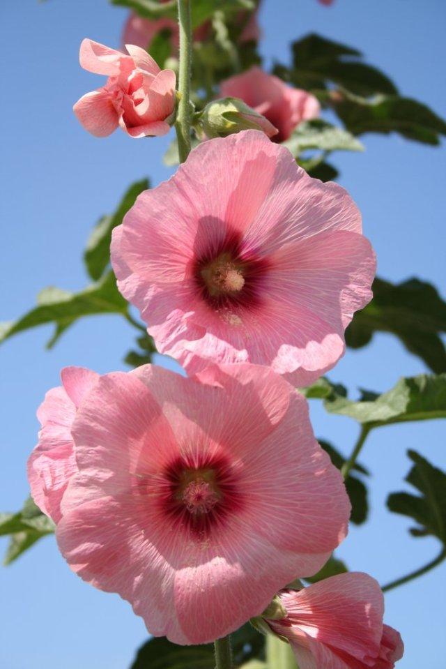 rose trémière.jpg