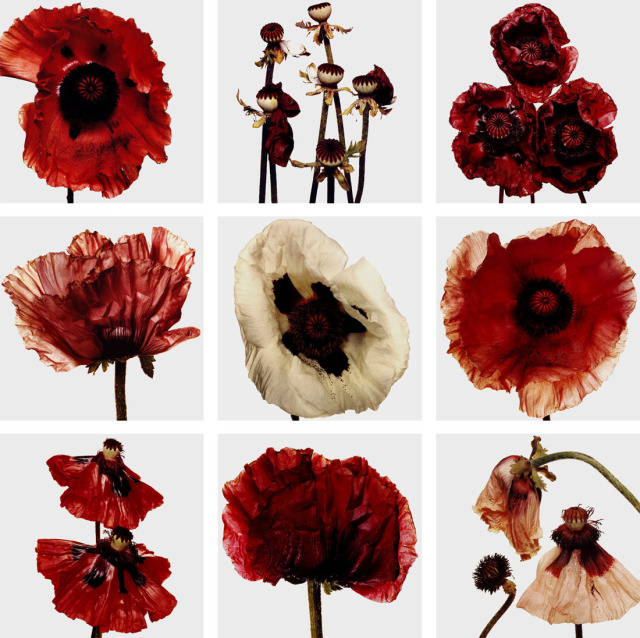 PENN Flowers coquelicots
