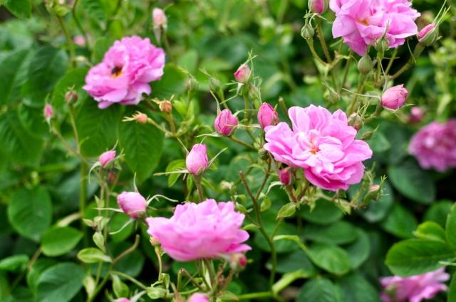 CENTIFOLIA Rose
